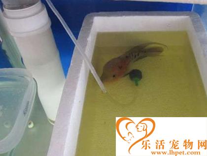 罗汉鱼肠炎怎么治 做好预防工作