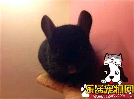 纯黑龙猫分辨 龙猫深黑和纯黑的区别