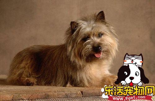 罗福梗犬的特征 罗福梗是体型最小的工作梗
