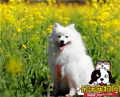 银狐犬不叫 叫不叫主要是遗传和天性