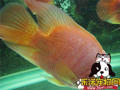 热带鱼什么时候繁殖 一般就是30到90天