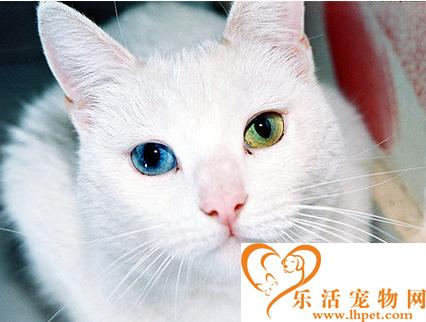波斯猫有哪些特征 波斯猫可谓猫中贵族