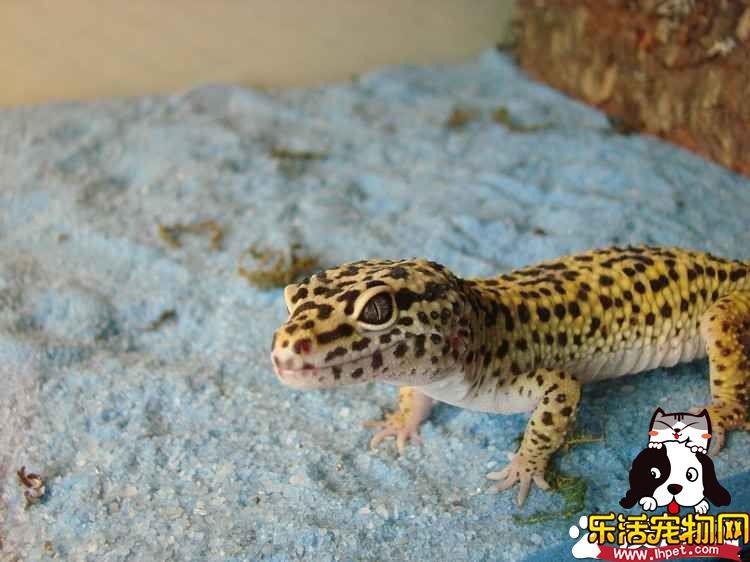 豹纹守宫蜥蜴价格 市场价格在300元左右