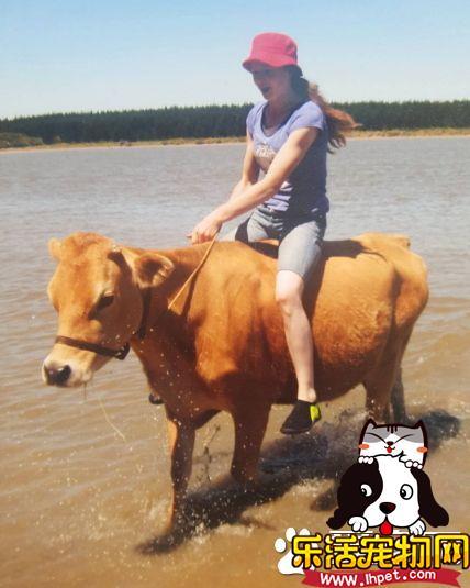 买不起马没关系 女孩将宠物牛当成马来骑