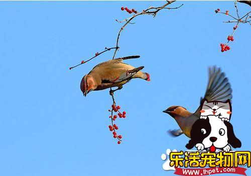 小太平鸟怎么样 小太平鸟好不好饲养