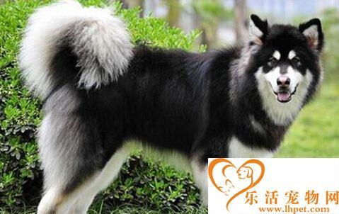 雪橇狗多少钱 价格看地方也要看狗的品种