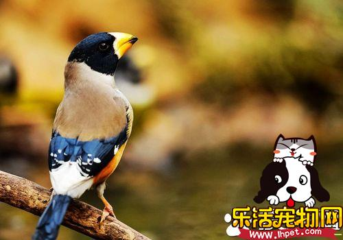 蜡嘴雀驯养 蜡嘴雀的饲养知识以及饲养特点
