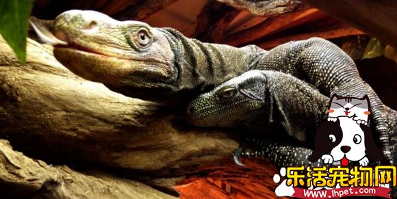 萨氏巨蜥可以养吗 萨氏巨蜥的饲养难度颇高