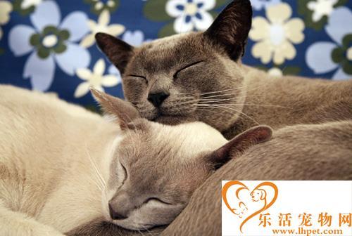 缅甸猫多少钱一只 了解它的外貌特征