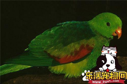 红翅鹦鹉的价格 红翅鹦鹉价格是比较昂贵的