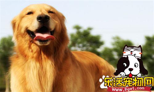 金毛寻回犬特性 金毛犬是很活泼的一种犬种