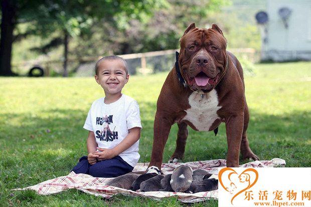 世界上体型最大的比特犬 一只幼崽竟5.5万美金