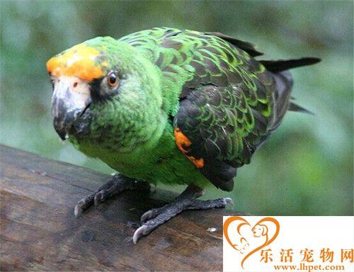 贾丁氏鹦鹉的饲养 提供一个有较大空间的笼子