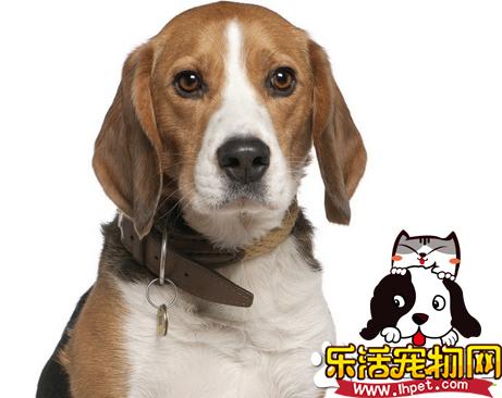 如何防止比格犬咬东西 比格犬爱咬东西怎么办