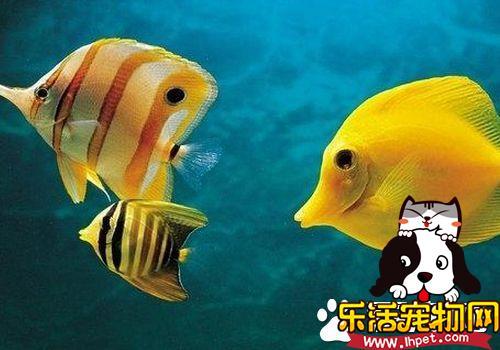 可以混养的热带鱼 热带鱼混养的注意事项