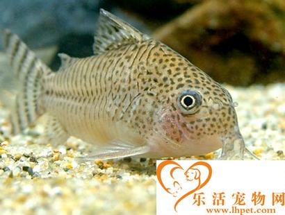 鼠鱼吃什么 赤虫与丝蚯蚓是它们的最爱