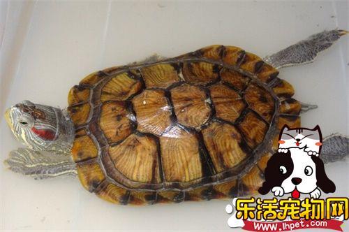 家里养龟好么 养龟可以旺财也可以化煞