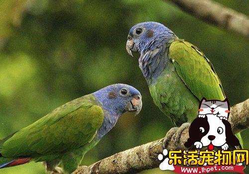 蓝头金刚鹦鹉价格 价格一般在8000到1万元左右