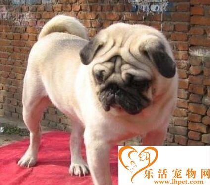 巴哥犬价格  狗狗价格一般都在1200元左右
