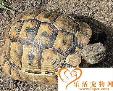 欧洲陆龟价格 背甲越大的就越昂贵