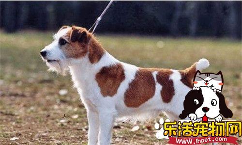 杰克罗素梗犬智商 杰克罗素梗犬还是很聪明的