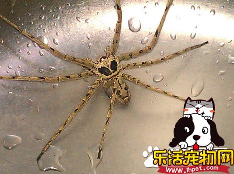 蜘蛛怎么繁殖 蜘蛛繁殖需要注意的事项