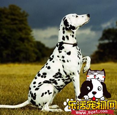 大麦町犬好不好 大麦町犬的介绍以及性格