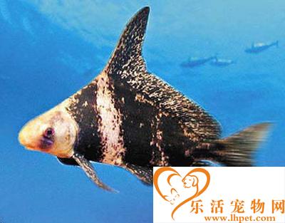 胭脂鱼吃什么 胭脂鱼属杂食动物