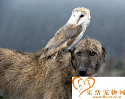 跨越种族 狗狗与猫头鹰成为知心好友