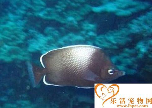 复活岛蝶的外形特点 成鱼体高而呈卵圆形