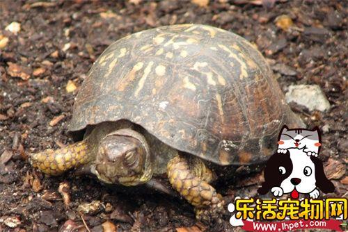 适合家养的龟 几种常见的适合家养的乌龟