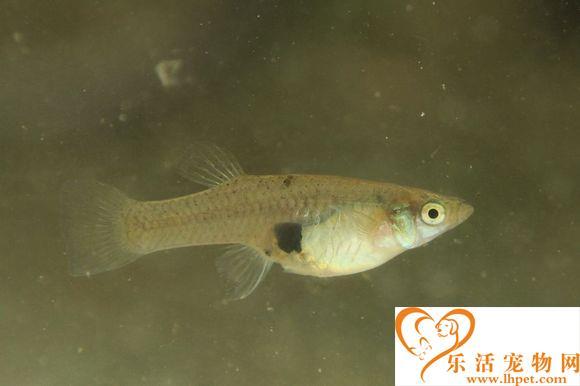 食蚊鱼的繁殖 繁殖期为食蚊鱼提供充足的食物