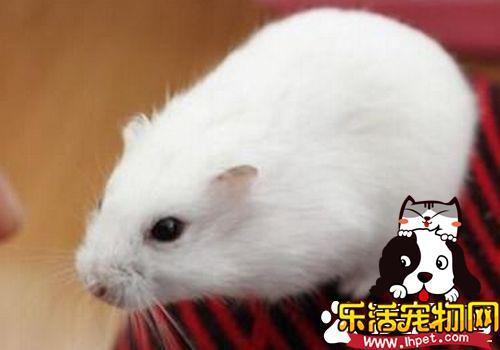 雪球仓鼠价格 雪球仓鼠价格在15到20元