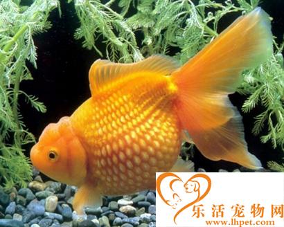 珍珠金鱼好养吗 是一种生命力很强的鱼