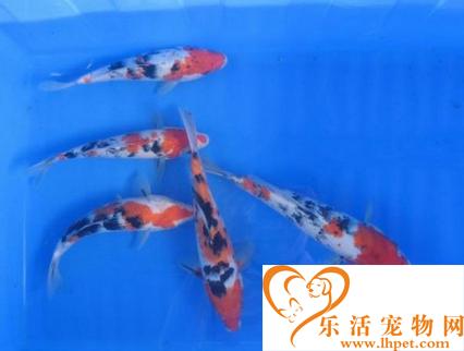 如何挑选大正三色锦鲤 鱼鳍不要有红纹