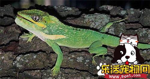 古巴变色蜥怎么样 属中体形最大的种类