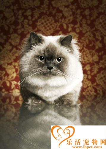 贵族气质波斯猫的挑选方法