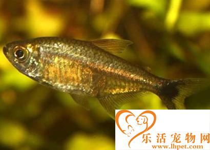 黄金灯鱼怎么养 适宜水温为24~26°