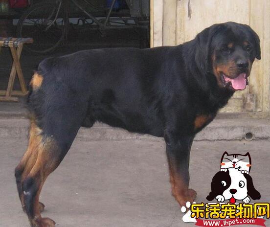 罗威纳犬怎么咬主人 一般不会咬人尤其是主人