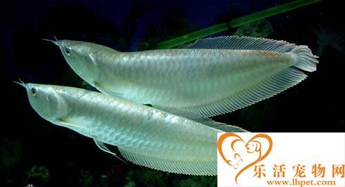 银龙鱼怎么分公母 五种方法可以区分公母