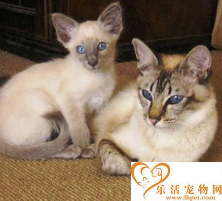 巴厘猫多少钱 有哪些外型特征