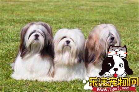拉萨犬的鼻子颜色 拉萨犬的鼻子呈黑色