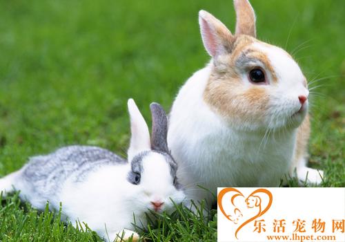 养宠物兔子注意事项 饲养兔子的环境要干燥