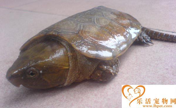 鹰嘴龟一次吃多少 鹰嘴龟2到3天喂一次