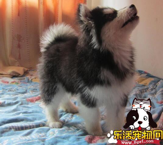 阿拉斯加雪橇犬的性格 阿拉斯加的养护知识