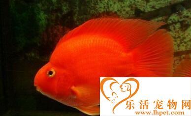 养热带鱼注意事项 家养热带鱼需要注意的事项