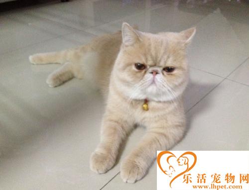 加菲猫多少钱一只  纯种的加菲猫比较贵