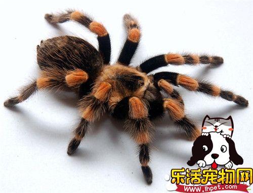 宠物蜘蛛多少钱 品种不一样价格也会不同