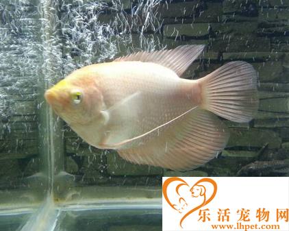 招财鱼能长多大 会长到40厘米左右
