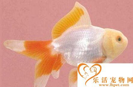 五鳍相逢的品种 它是金鱼的一种品种